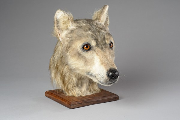 Neolithic dog head reconstruction from Orkney's Cuween Hill Chambered Tomb, commissioned by Historic Environment Scotland.