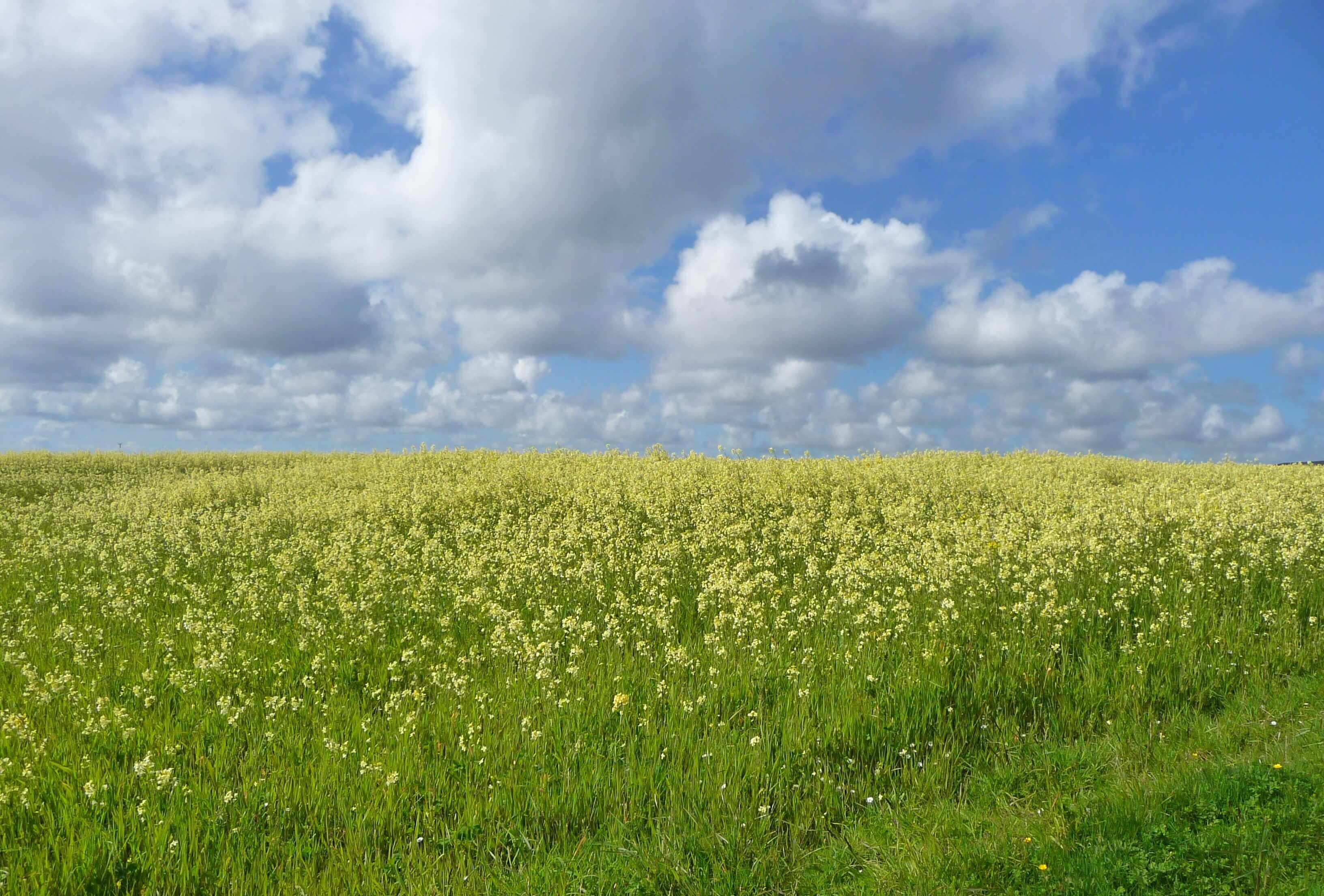 Fields of wildflowers, Wyre, Orkney Islands, Scotland, UK