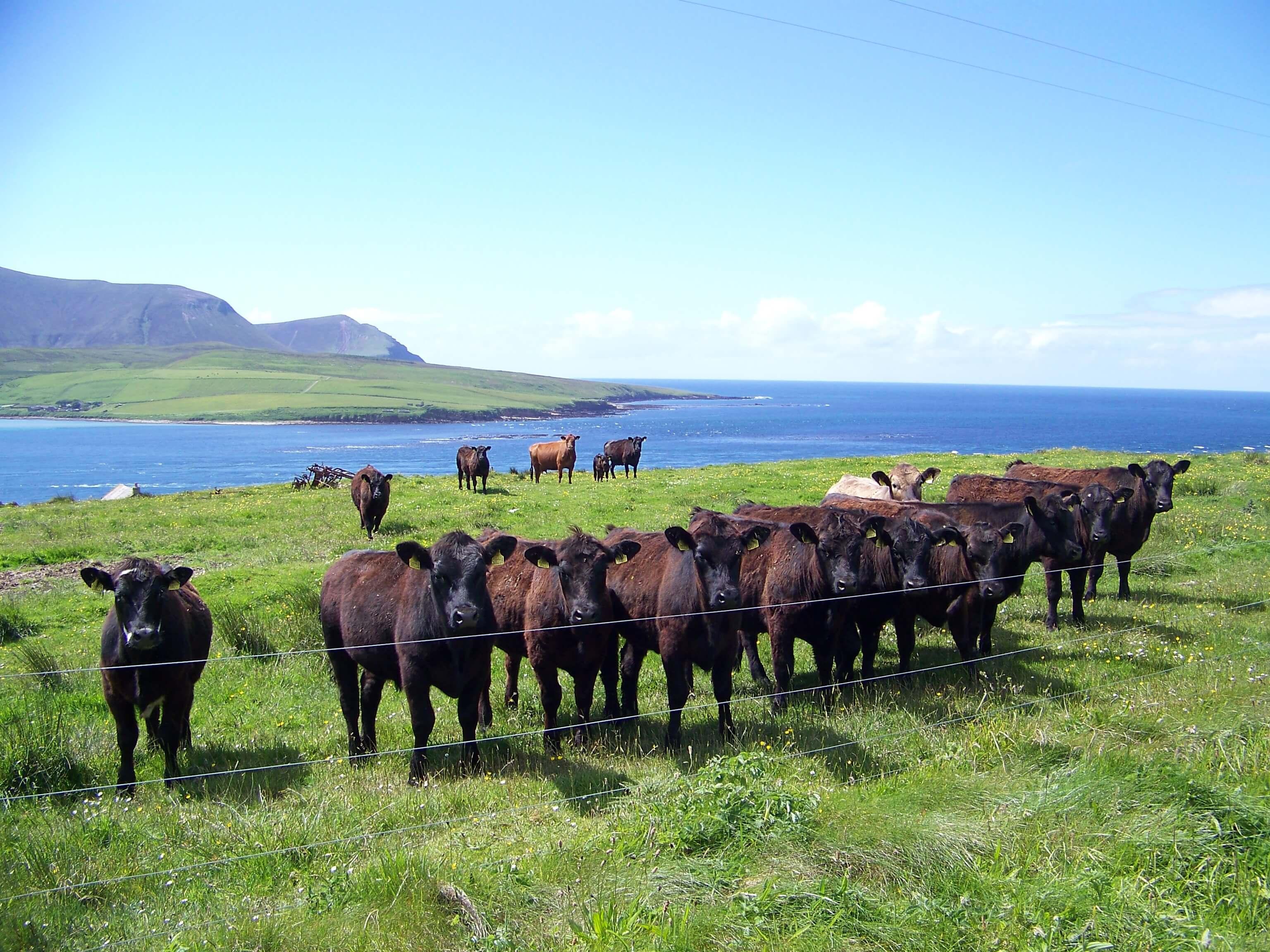 Curious cows on an Orkney island