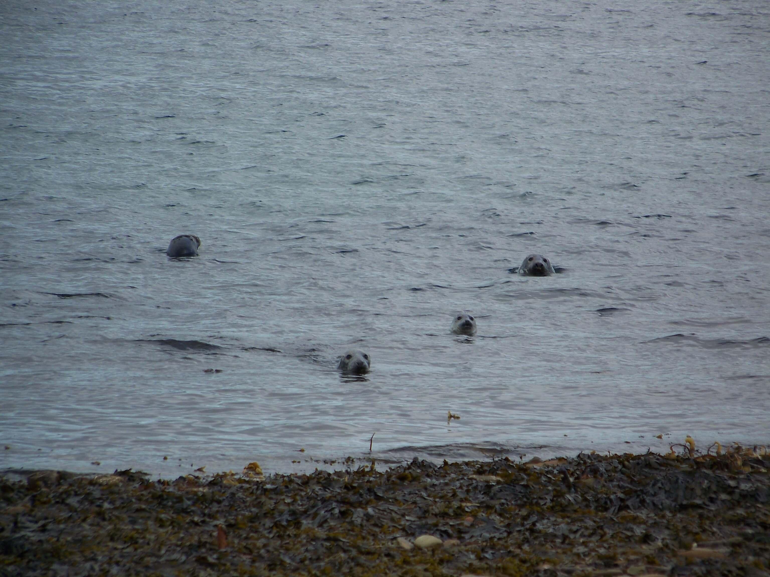 Seals near an Orkney beach