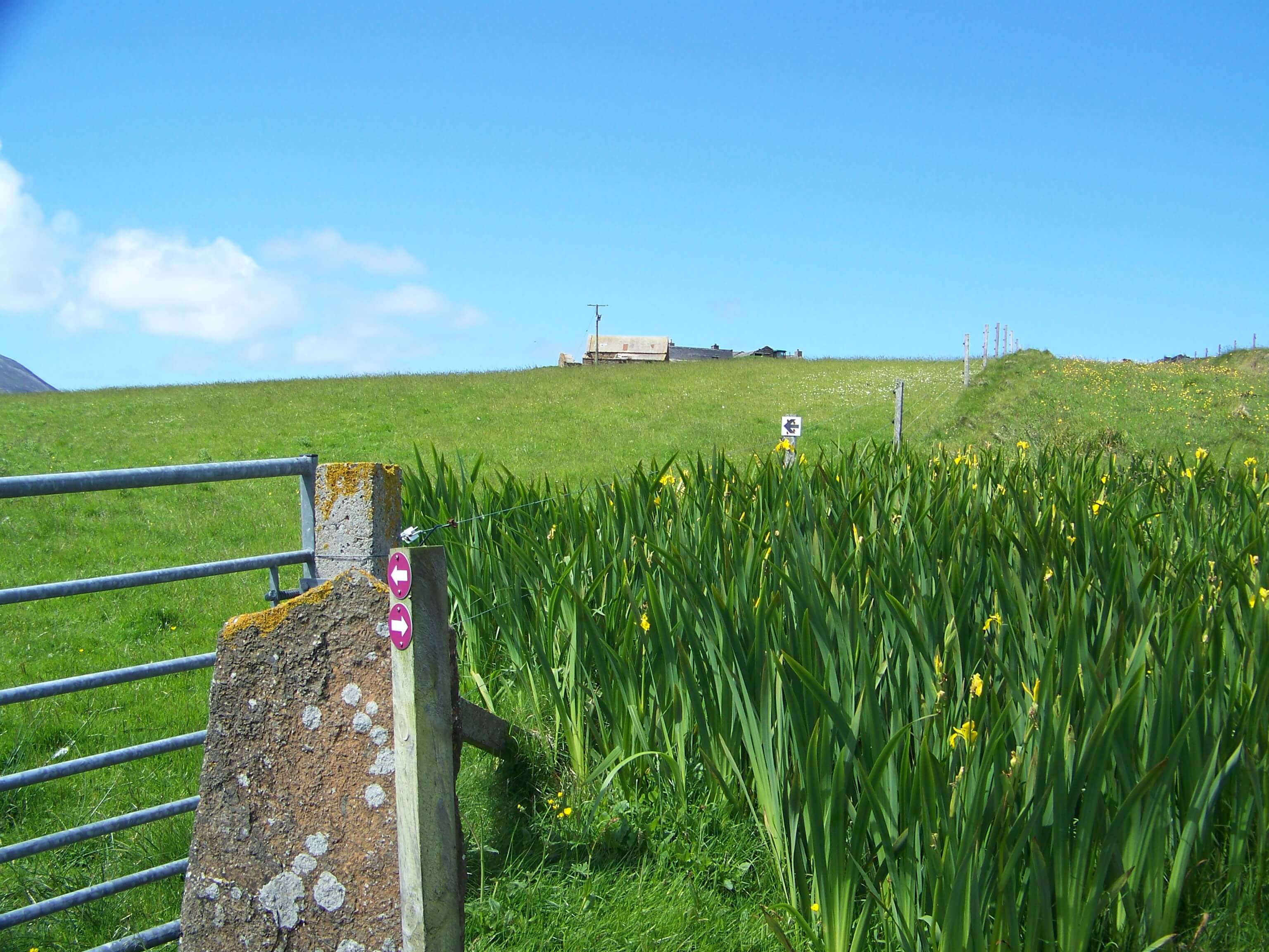 Yellow flag in an Orkney field