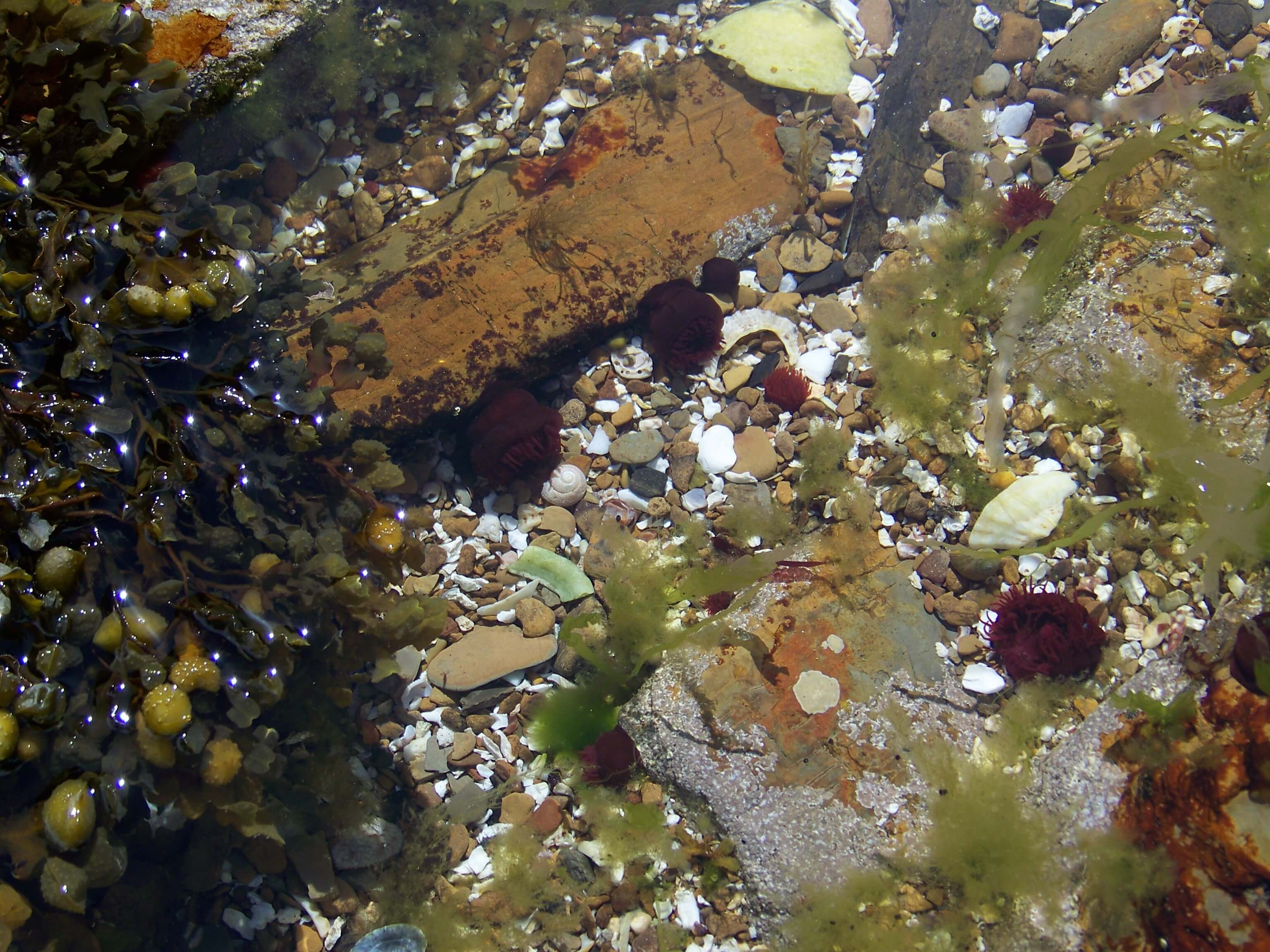 Sea anemones in a tidal pool, Orkney