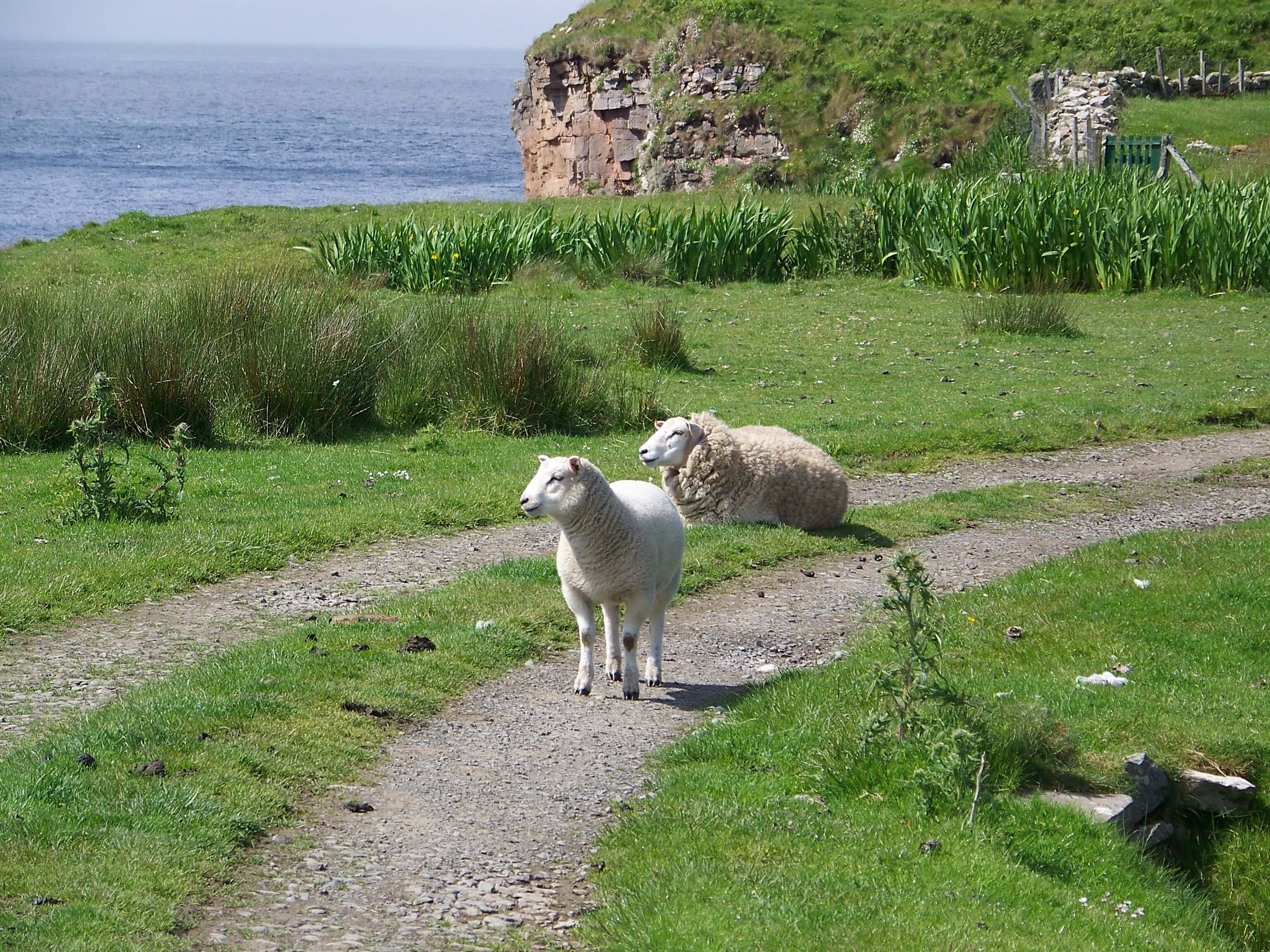 Sheep lounging in the sun in Hoy, Orkney
