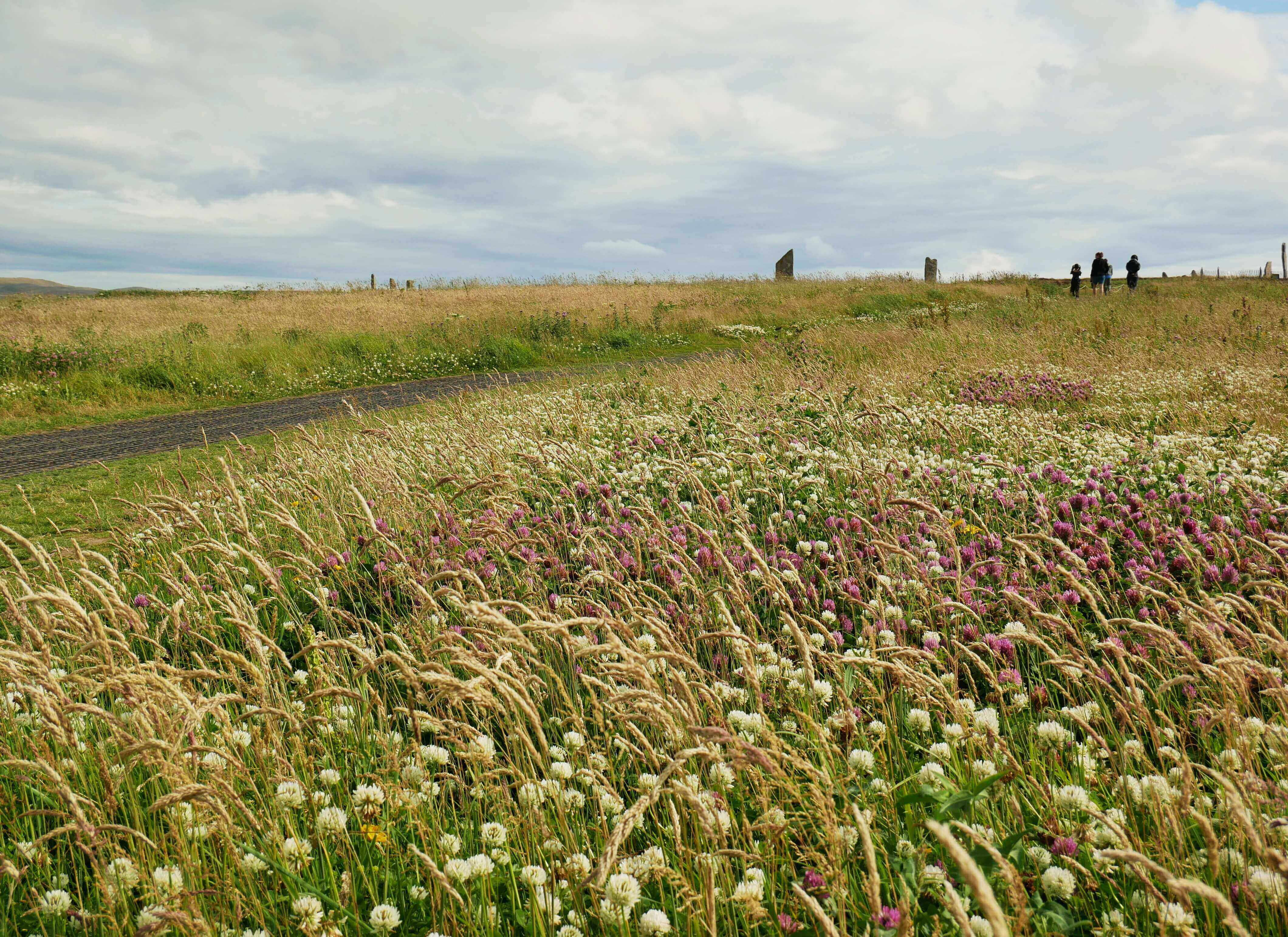 Fields of clover surround the standing stones at Brodgar, Orkney Islands, Scotland, UK. www.orkneyology.com